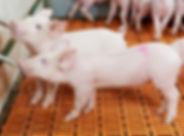 schoon drinkwater varkens