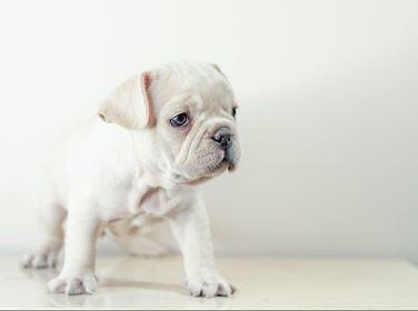 French Bulldog White