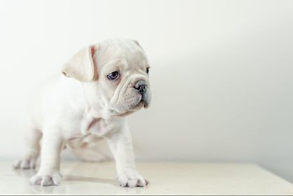 French Bulldog White