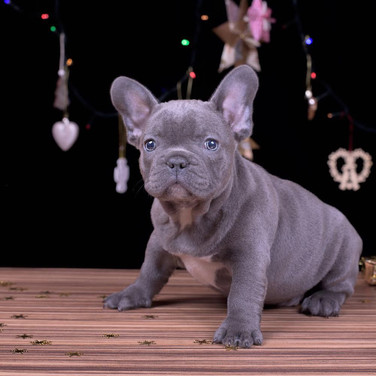 French Bulldog light gray blue eyes