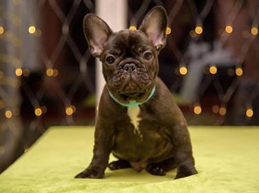 French Bulldog Brow