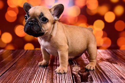 French Bulldog Caramel beige puppy