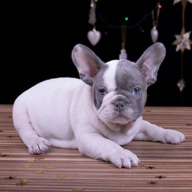 French bulldog Gray and White blue eyes