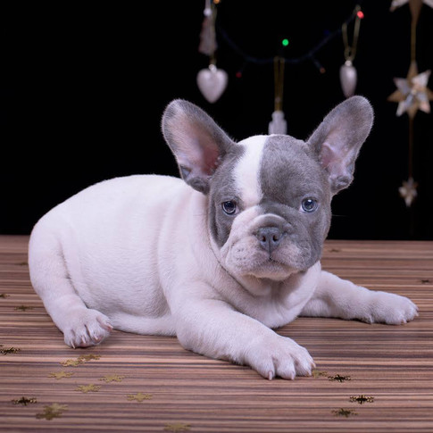 French bulldog Gray and White blue eyes