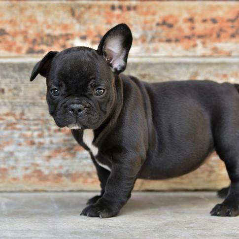 French bulldog Black puppy