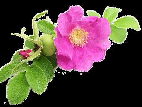 L'huile de Rose Musquée