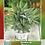Thumbnail: Salvia