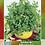 Thumbnail: Albahaca Fina Verde