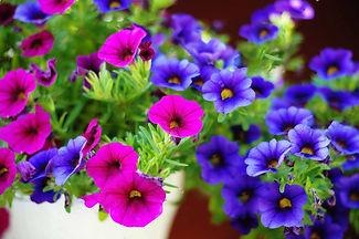 flores de petunia.jpg