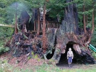 Saving Ancient Trees