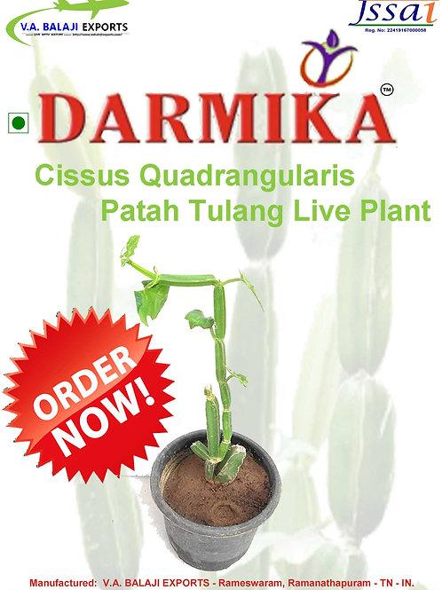 Darmika Cissus Quadrangularis Patah Tulang Live Plant
