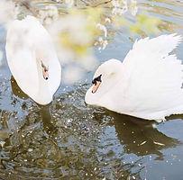 swansfb.jpg