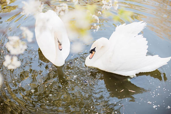 swans3.jpg