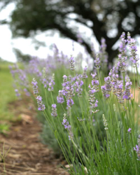 Blanco Lavender Festival - June 12, 2021