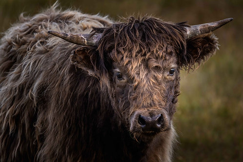 young Cattle, Isle of Lewis