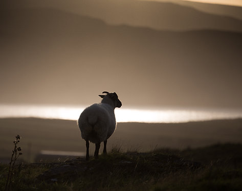 the landscapers sheep (2)