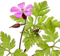 Geranium (herb Robert)