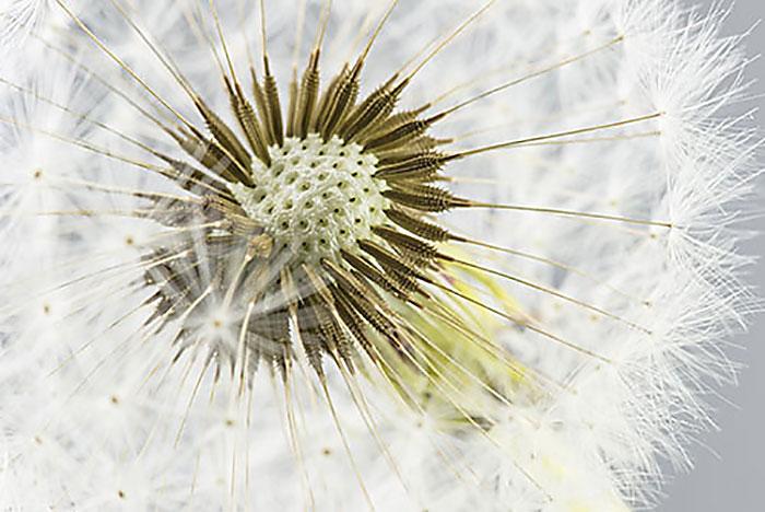 Dandelion (leaf)