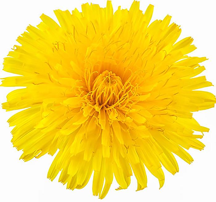 Dandelion (flower)