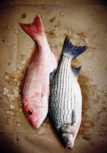 res snapper, striped bass