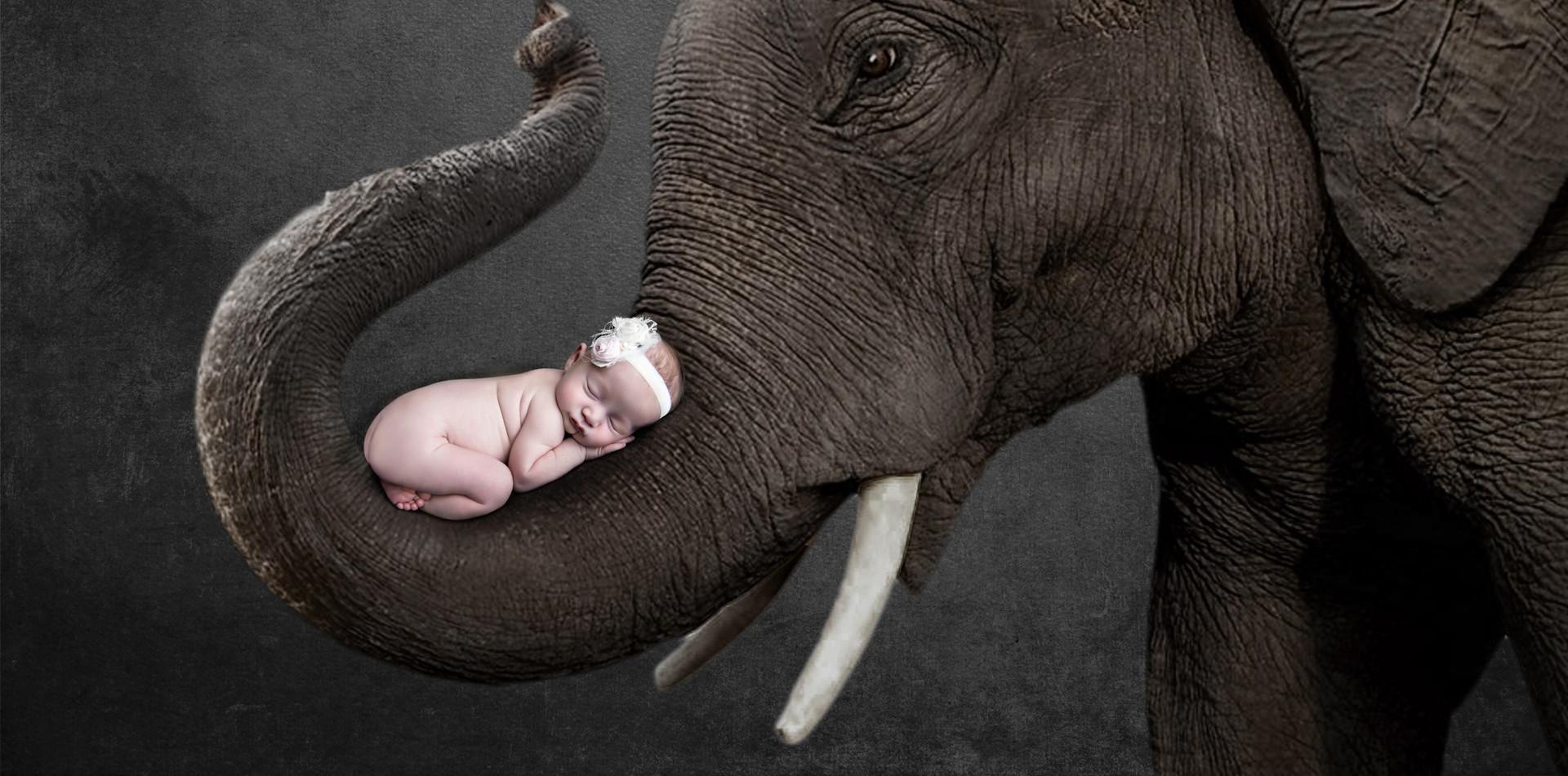 Elephant Lily ed C.jpg