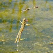 Frog vs Dragon Flies