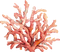 Coral_edited_edited.png