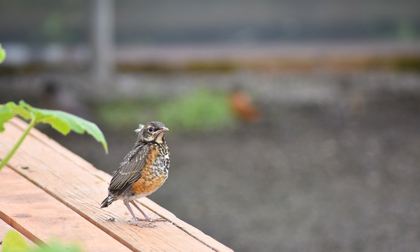 Robin Chicks Explore The Nursery