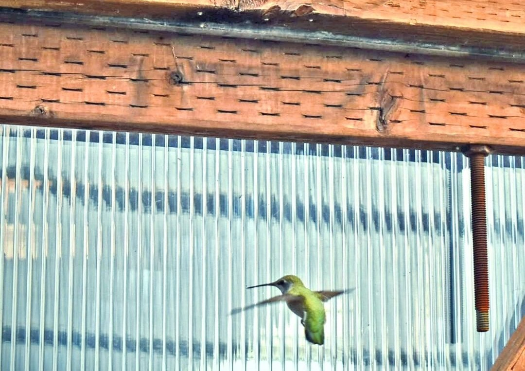 Our local hummingbird politely asking us to open the door to the tropical house!