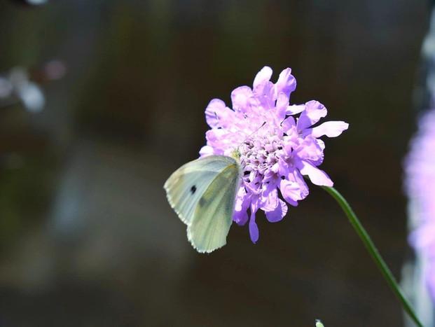 Cabbage Moth on a Pincushion (Scabiosa)