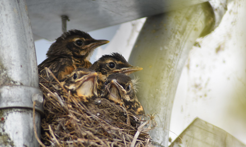 Perched on the front post of our covered area, this robin nest was hard to miss as both mother AND father brought countless meals to its four chicks all day long. The chicks have now left the nest, staying close to one another as they explore our nursery.