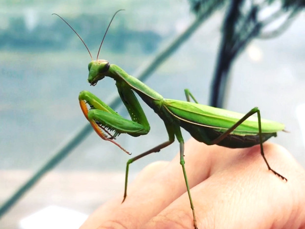 """Meet Hamilton, a praying mantis that visited us at the nursery this last week. Hamilton was prematurely named before we realized that she is a lady mantis. And a strong, independent one at that who """"don't need no man"""". Which is a good thing, because she was probably cleaning her serrated front legs after having feasted on the head of her lucky mate. The sacrifices we make in the name of love!"""