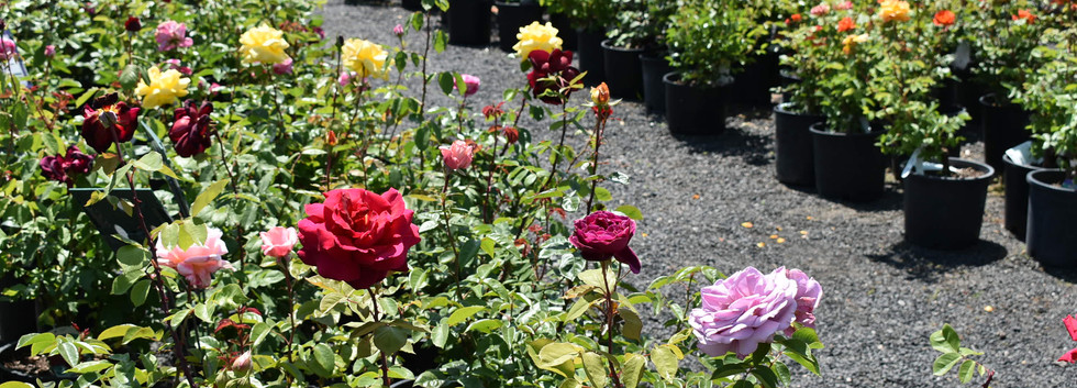 Our Roses