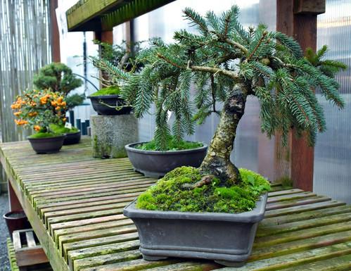 Bonsai Pine.jpg