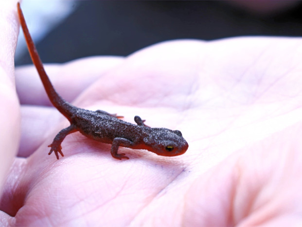 """Tim found this teeny fella in our garden center. We believe he is a rough-skinned newt, aptly named Newton. These newts don't have many natural predators due to the toxin they produce, making them incredibly poisonous. This toxin is called tetrodotoxin (TTX), affects the nervous system, and is 10,000 times more deadly than cyanide. I know what you're thinking: """"The only plausible explanation for an animal with such an incredibly defensive adaptation is that it's locked in a co-evolutionary arms race with an equally well-defended predator!""""  Right you are! Garter snakes are the only animals (aside from rough-skinned newts, themselves) that are known predators, due to uniquely shaped receptors on their neurons that are resistant to TTX.  In short, the Animal Kingdom agrees that Newtella on toast is a delicacy best left to garter snakes and their fancy neurons. And while handling these little guys is considered safe, you can be sure we washed our hands after snapping this picture!"""