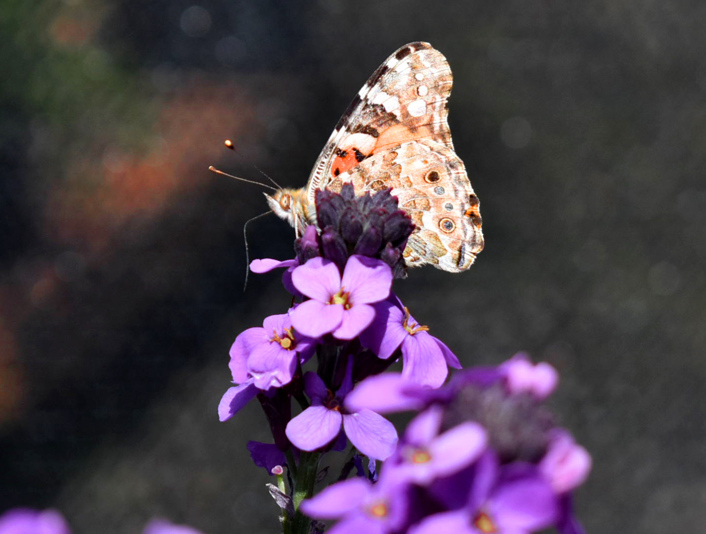 Painted Lady Butterfly On Wallflower