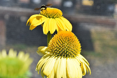 Bee Flight Yellow Echinacea.jpg