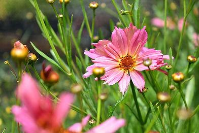 Coreopsis Pink.jpg
