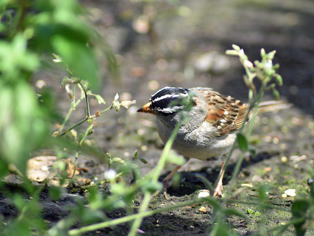 White Crowned Sparrow Finds a Snack!