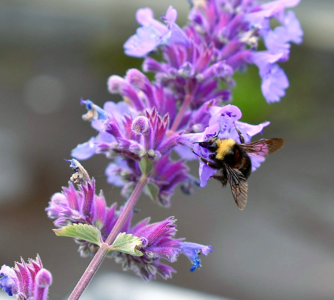 Bumble on Catmint