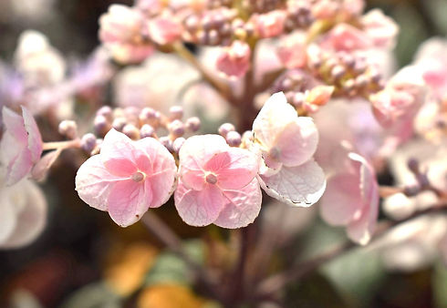 Hydrangea Plum Passion web edit.jpg