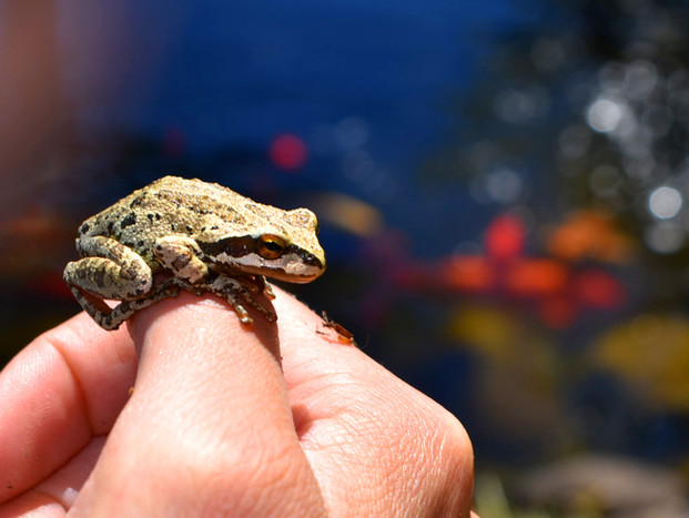 Tree frog who resides by our koi pond