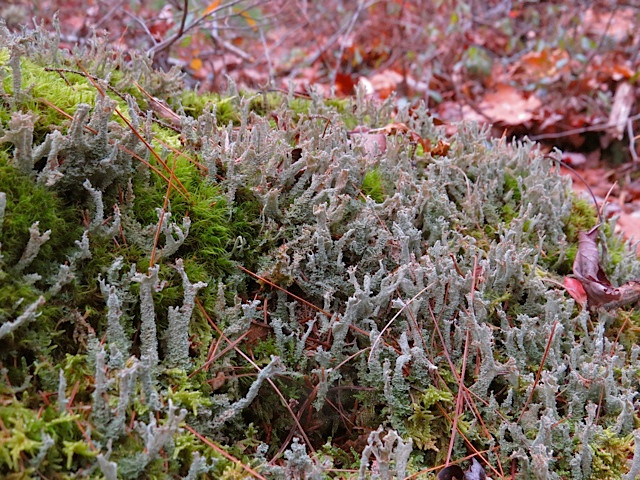 Fruiticose variety with Moss