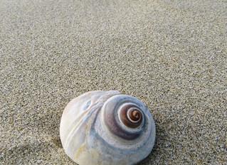 Moon Snails, Beautiful but Yikes...