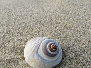 Moon Snails, Beautiful but Yikes...