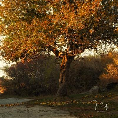 Apple Tree Hermit Island