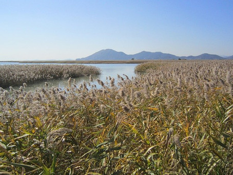 Summary: Phragmites australis can uptake and phytodegrade Ibuprofen in the water.