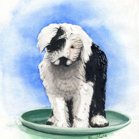 Sheep Dog Puppy.jpg