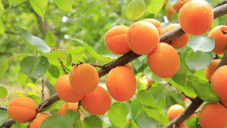 Sweet summertime apricots
