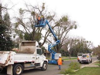 City kisses mistletoe goodbye to preserve urban forest